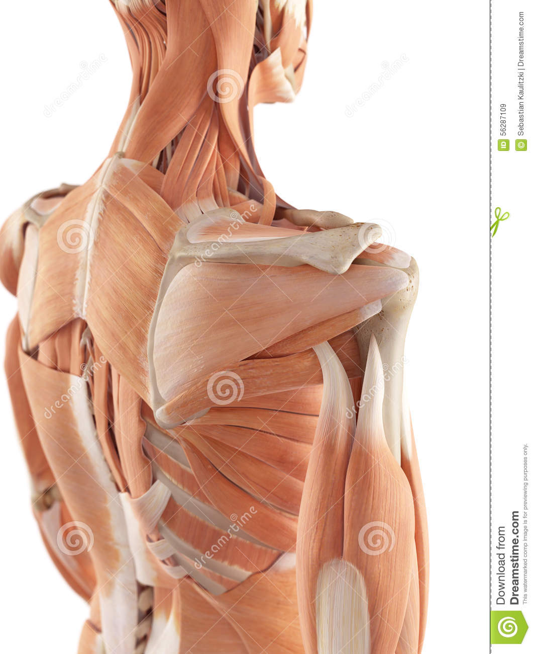 The Shoulder Muscles Stock Illustration Illustration Of Muscles
