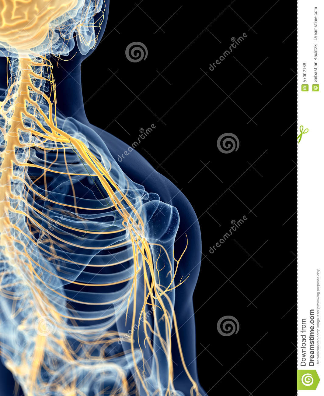 The shoulder nerves stock illustration. Illustration of anatomy ...