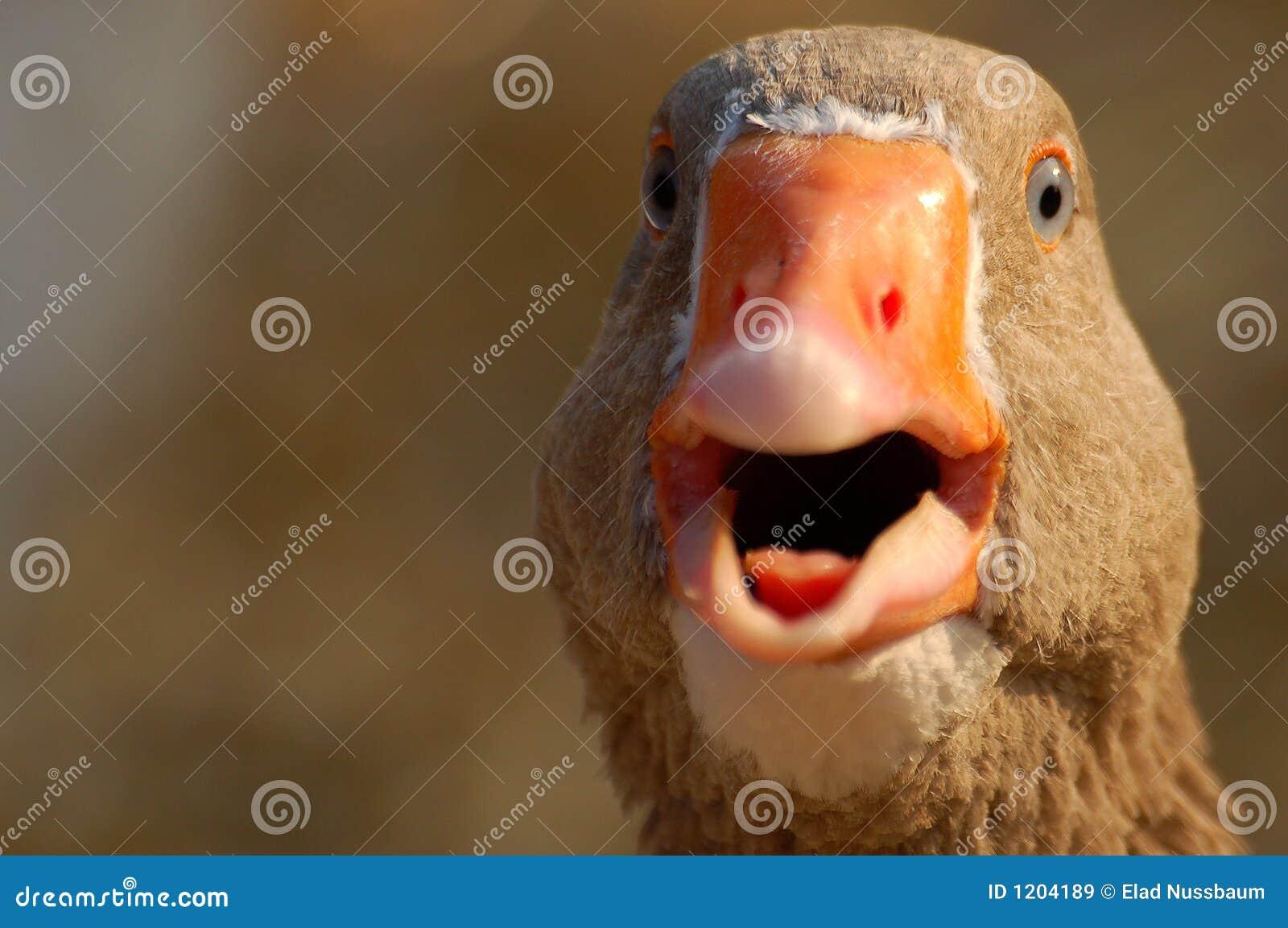 A shouting duck