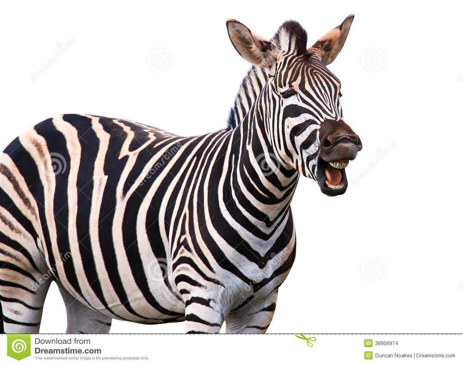shouting or laughing zebra stock photo image 38956974. Black Bedroom Furniture Sets. Home Design Ideas