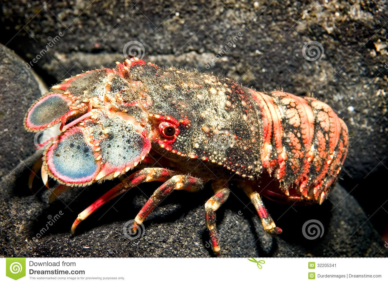Selective focus of a colorful Spanish or Shovel-nosed lobster against ...