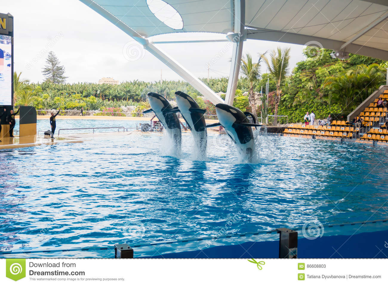 show of killer whales in the loro parque which is now