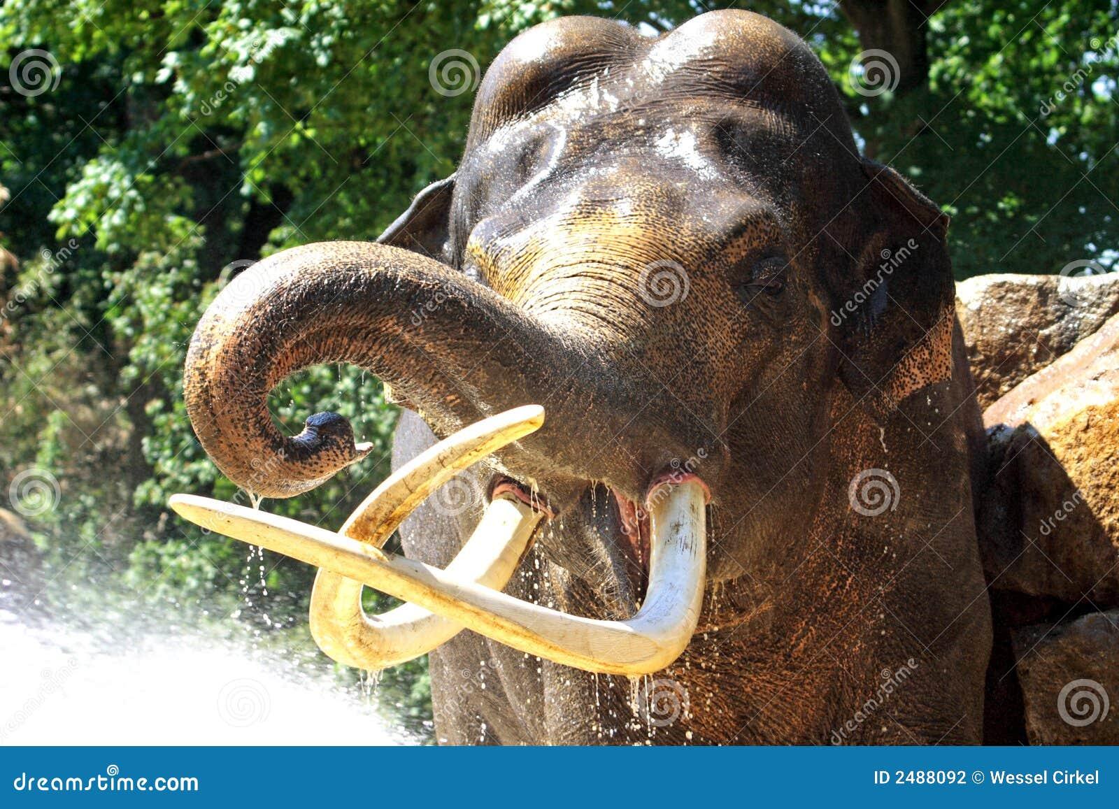Showering elephant