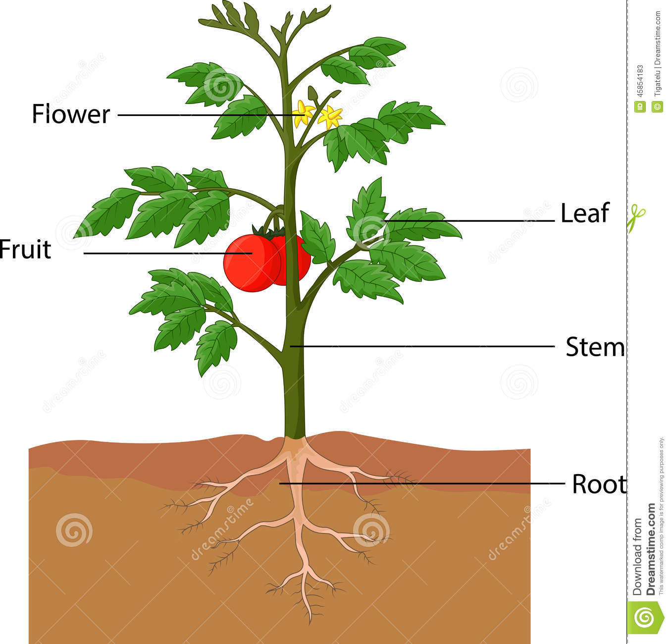 Diagram parts of a tomato diy wiring diagrams showing the parts of a tomato plant stock vector illustration of rh dreamstime com plant stem diagram plant anatomy diagram ccuart Gallery