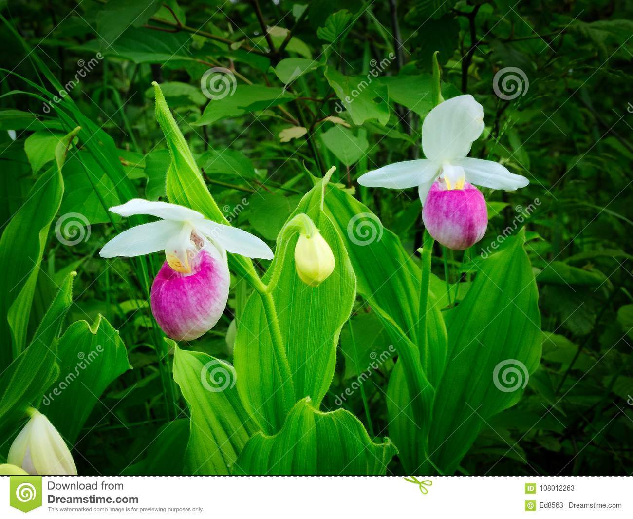 Showy ladys slipper cypripedium reginae minnesota state flower showy ladys slipper cypripedium reginae also known as pink and white ladys slipper or the queens ladys slipper beautiful minnesota state flower mightylinksfo