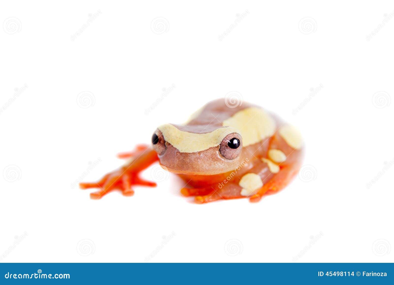 Shreve的在白色隔绝的Sarayacu treefrog