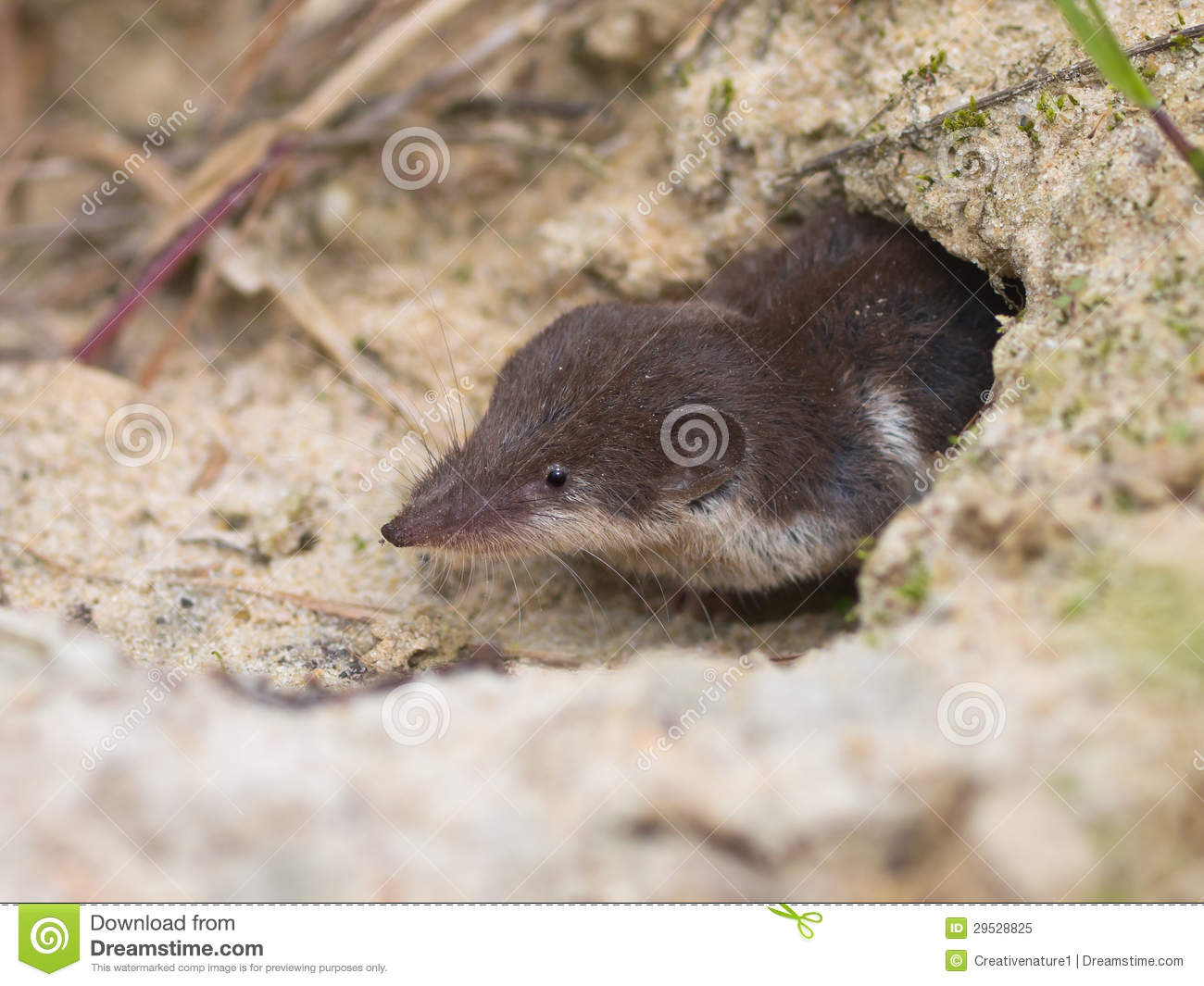 Shrew Branco-dentado bicolor