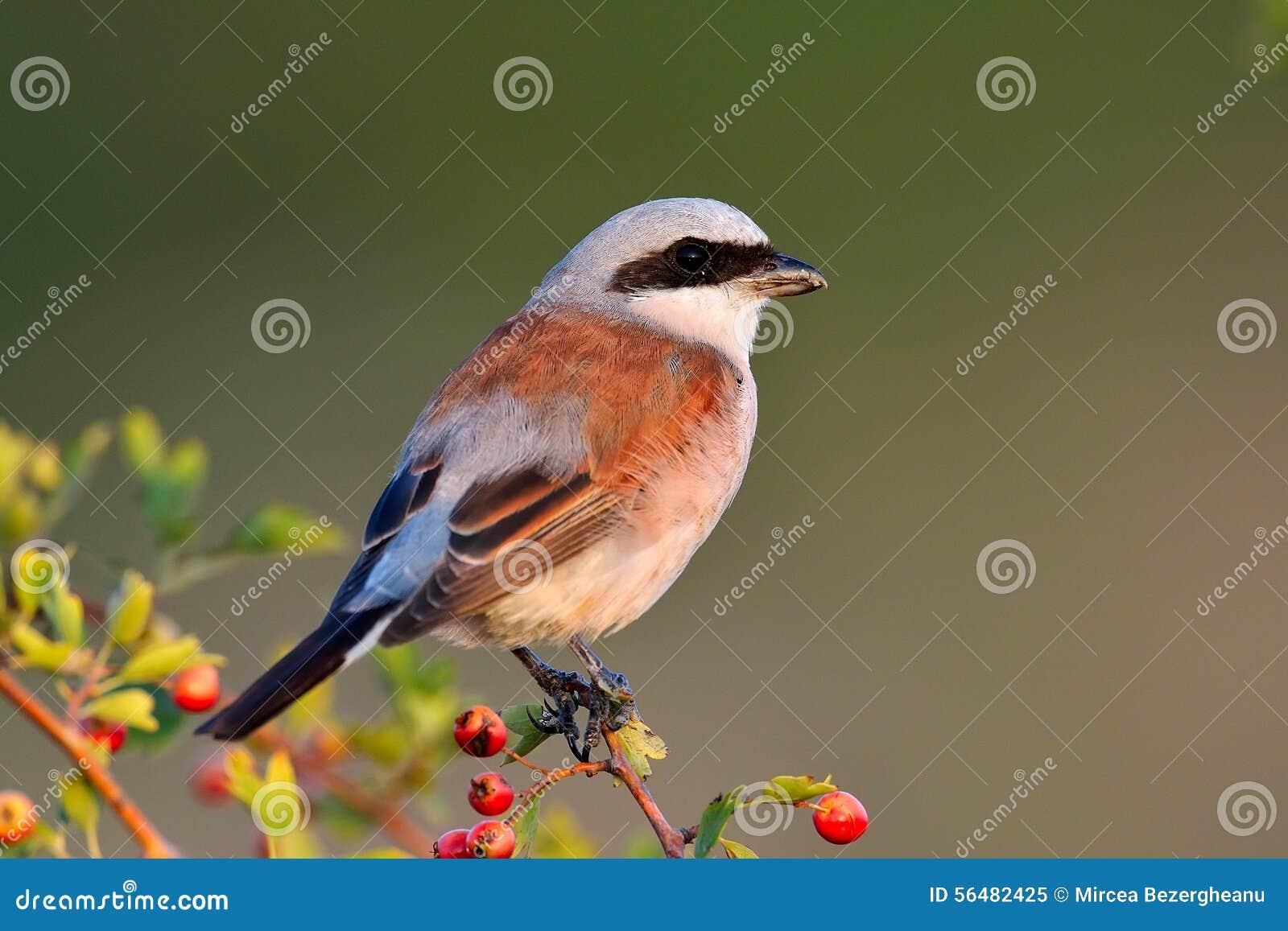Download Shrike Rouge-desserré (collurio De Lanius) Image stock - Image du oiseau, gris: 56482425