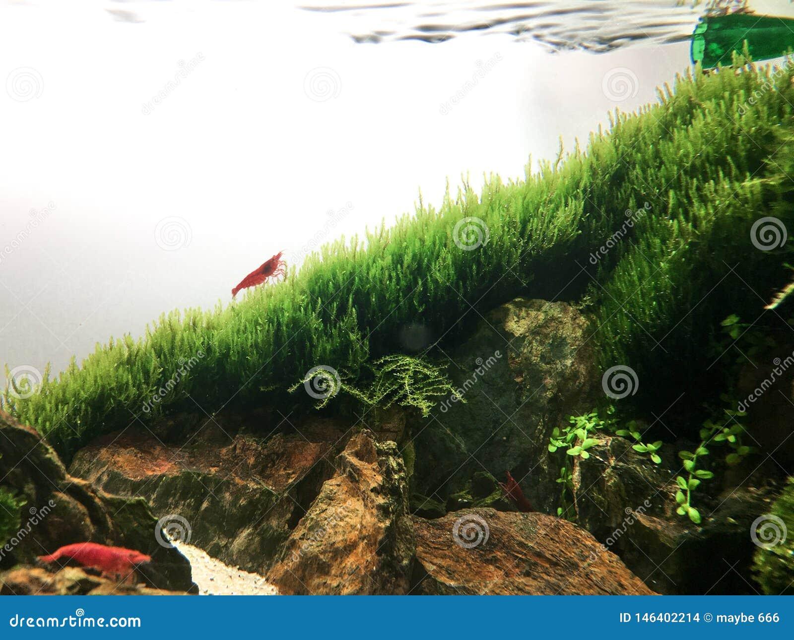 Shrimp Stock Photo Image Of Aquascaping Nanoaquarium 146402214