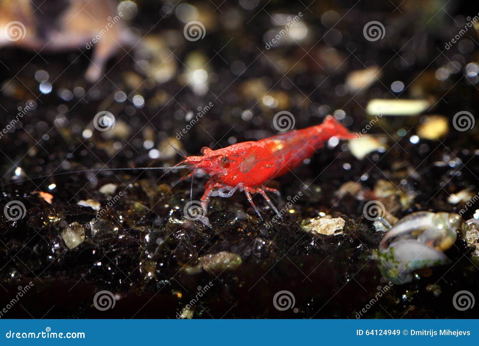 Shrimp Stock Photo - Image: 64124949
