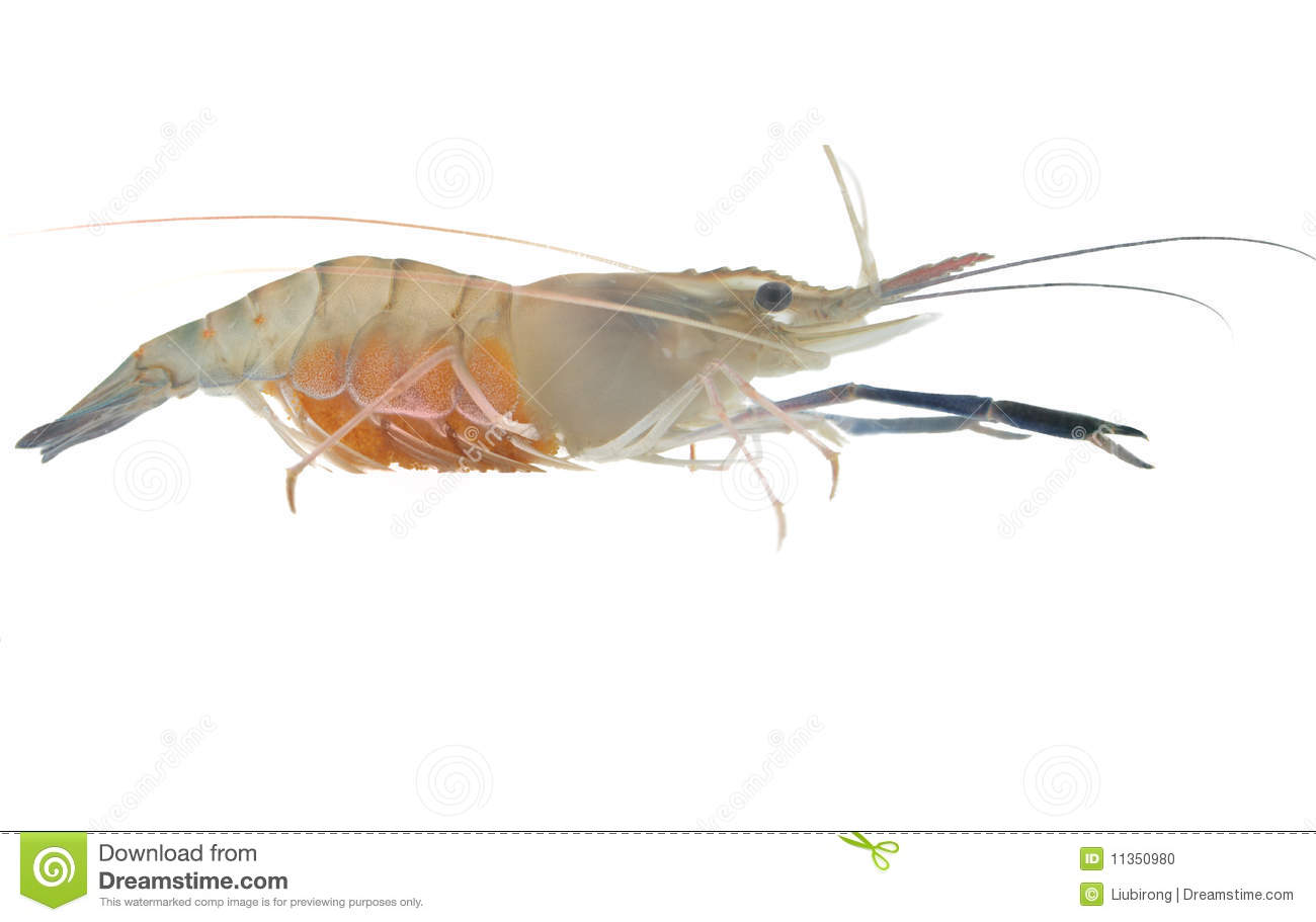 Shrimp pregnant stock photo image 11350980 for Fish dream meaning pregnancy