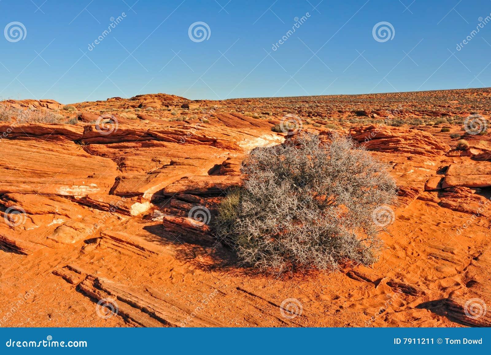 Shrub пустыни Аризоны