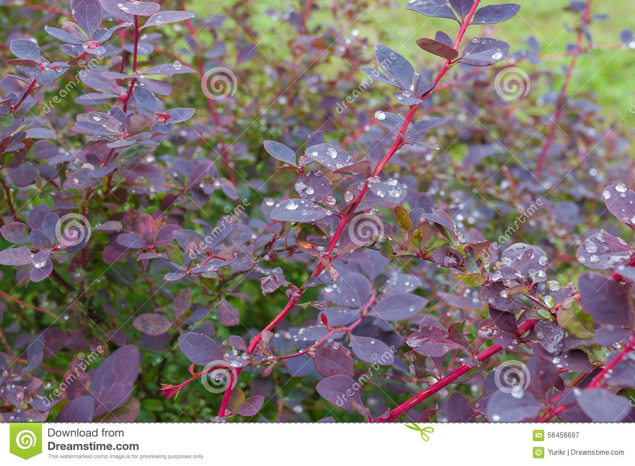 Shrub of barberry after rain