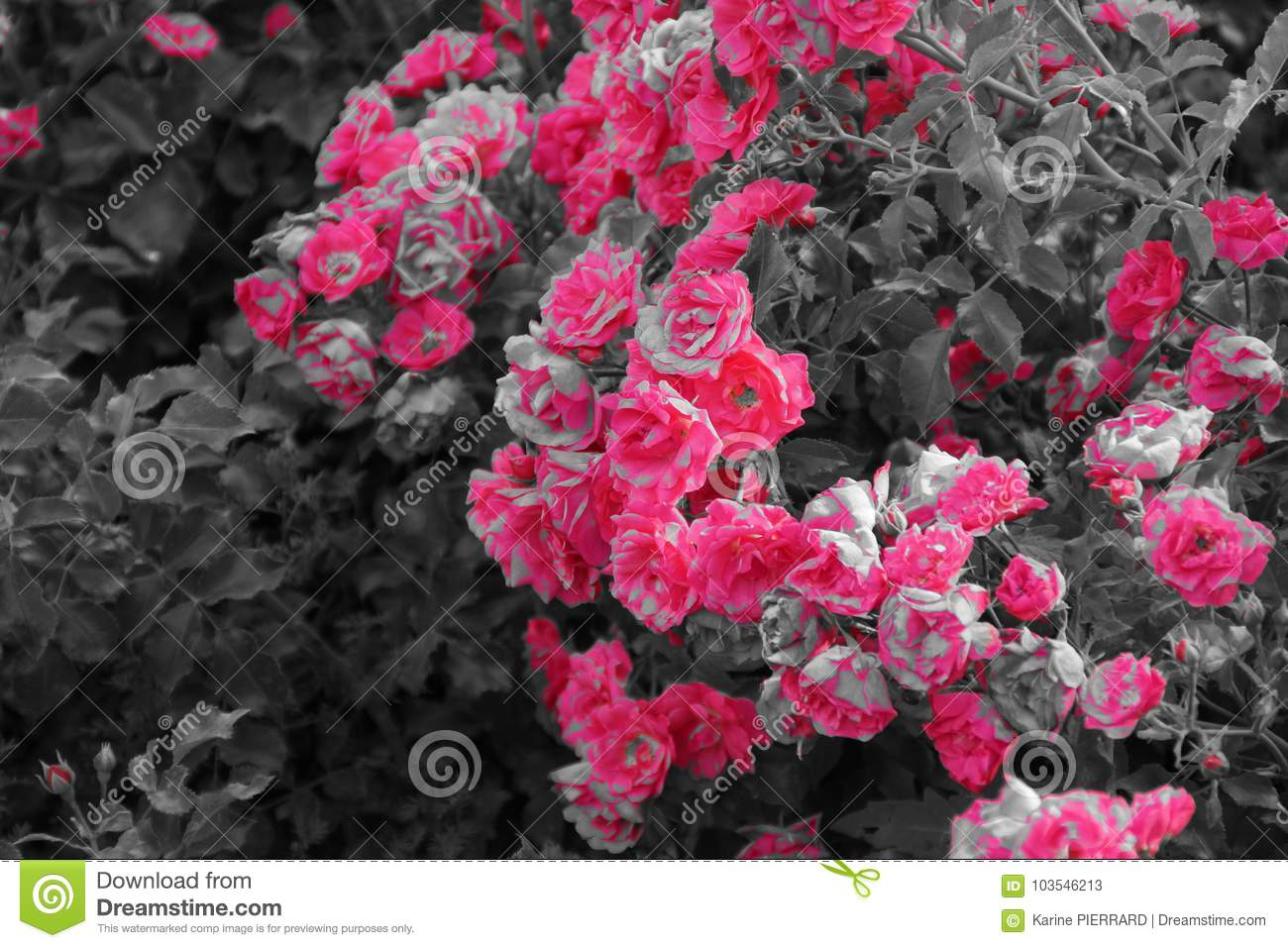Shrub With Of Beautiful Pink Flowers Black And White Stock Image