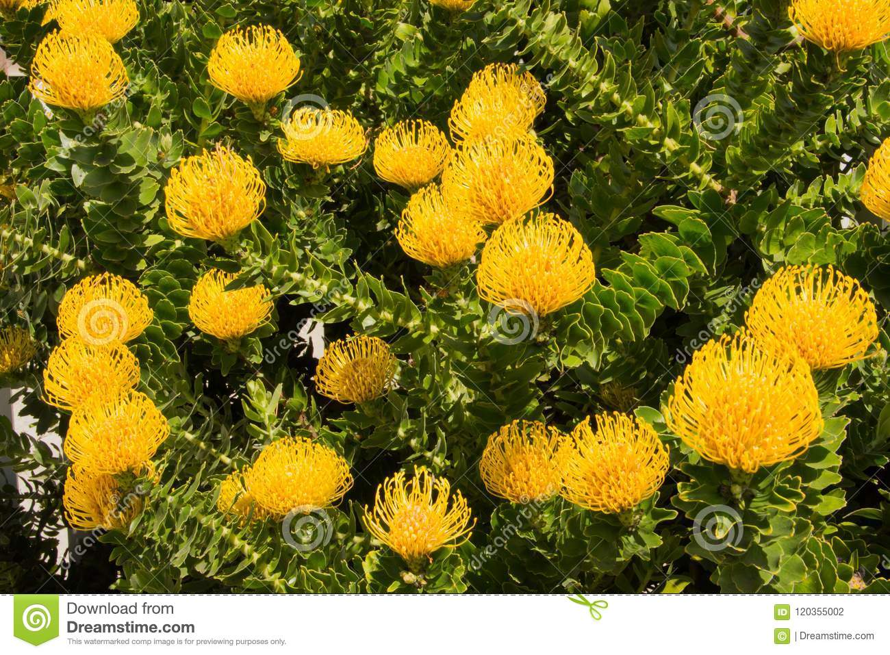 Shrub Of Bright Yellow Protea Pincushion Flowers And Leaves Stock