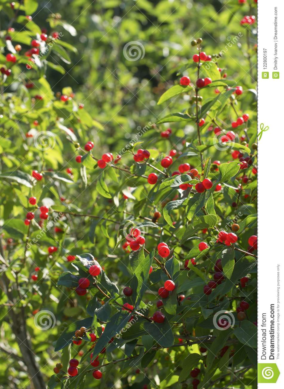 Shrub of honeysuckle with red berries vertical orientation