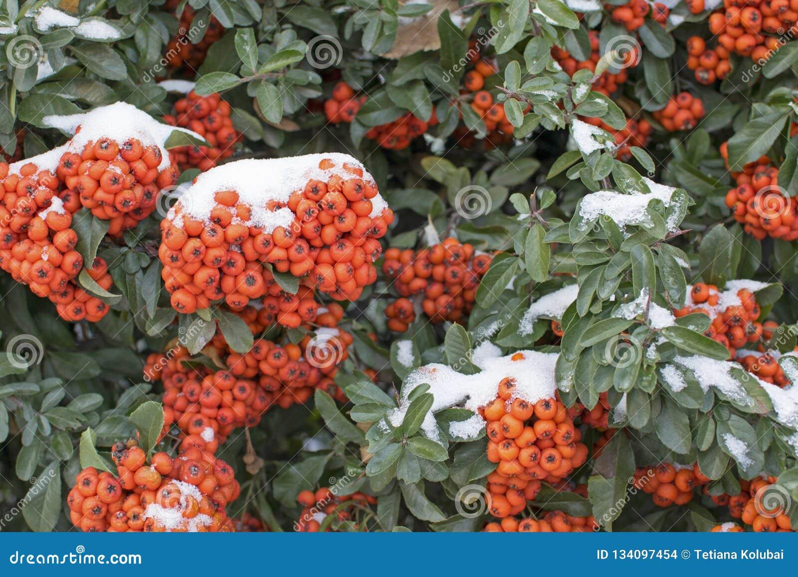 Bright Orange Berries On An Evergreen Bush Winter Season Stock