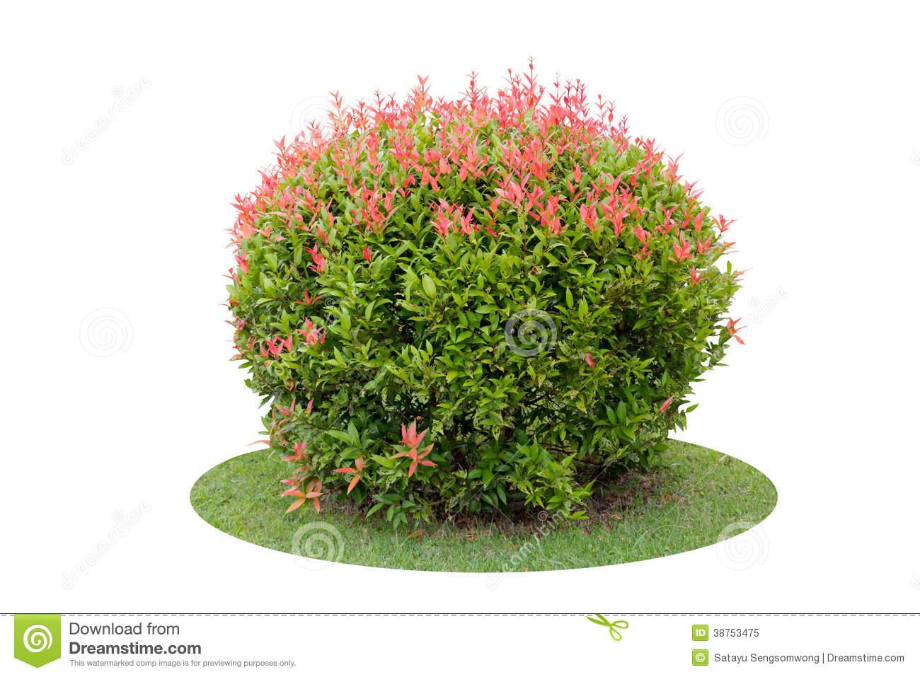 shrub pigeon berry tree isolated over white colorful short background 38753475