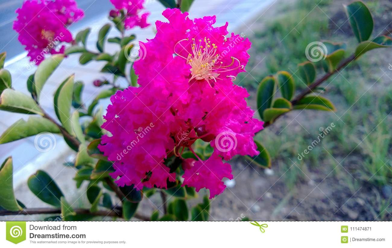 Shrub with pink flowers stock image image of earth 111474871 thermophilous beautiful evergreen shrub with pink flowers and yellow stamens against a lawn background mightylinksfo