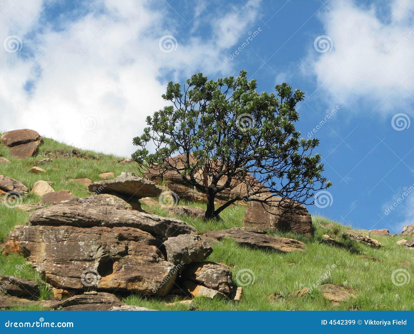 Shrub protea drakensberg