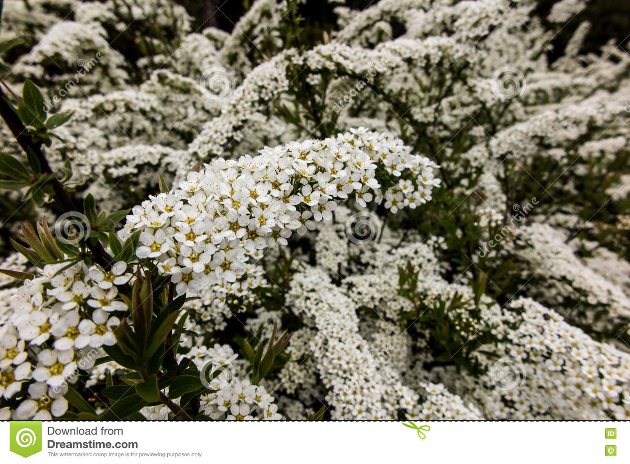 Shrub With Small White Flowers Van Houttea Spirea Stock Image