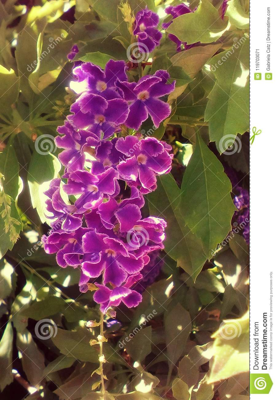 Shrub Tropical Purple Flower Stock Image Image Of Botanical Many