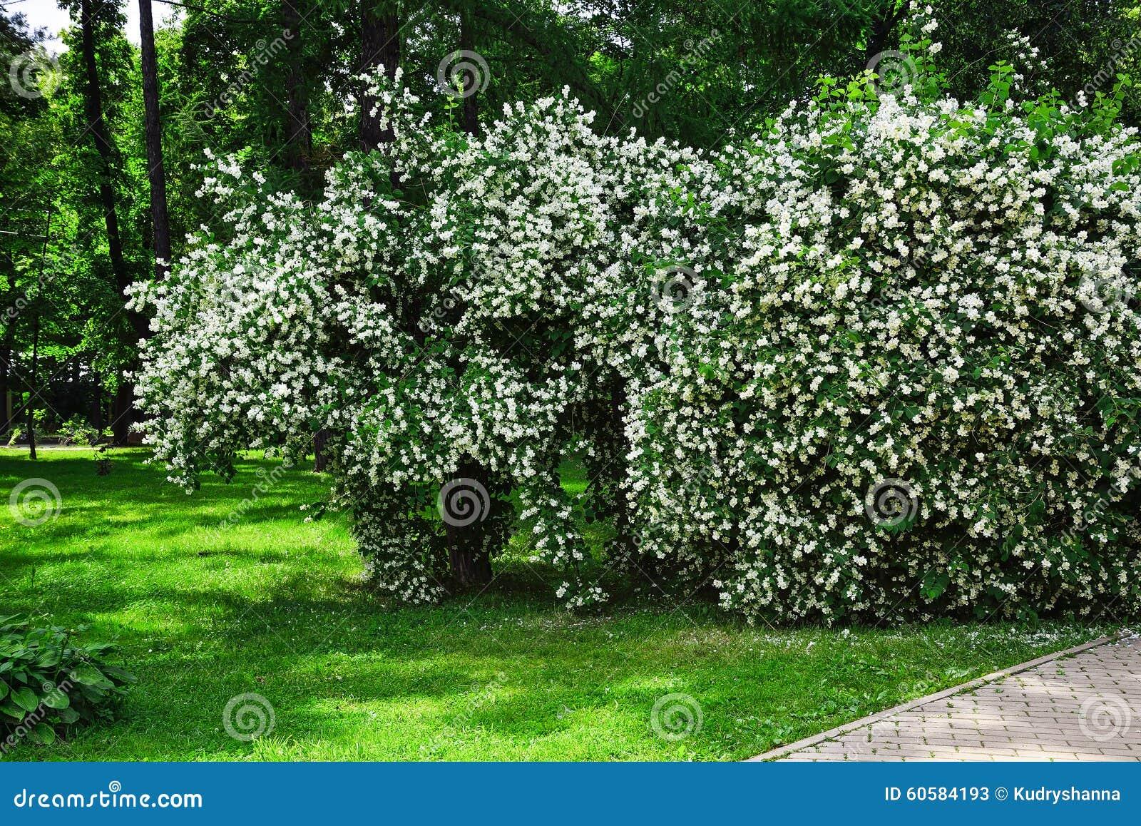 Arbusto Fiori Bianchi.Shrub With White Flowers Stock Image Image Of Season 60584193