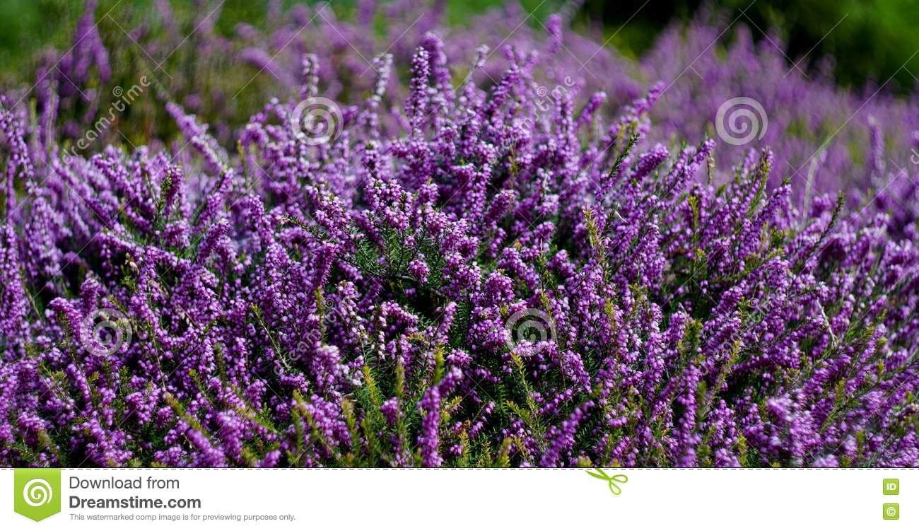 Shrubs with purple flowers pictures - Royalty Free Stock Photo Download Shrubs Of Small Purple Flowers