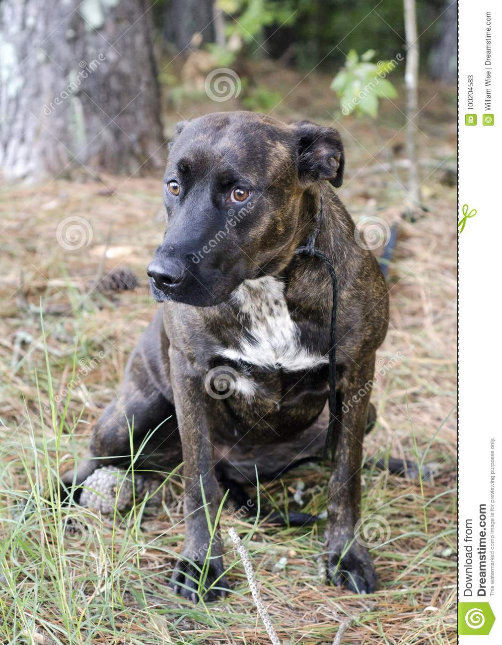 shy brindle great dane mixed breed dog stock image image of leash