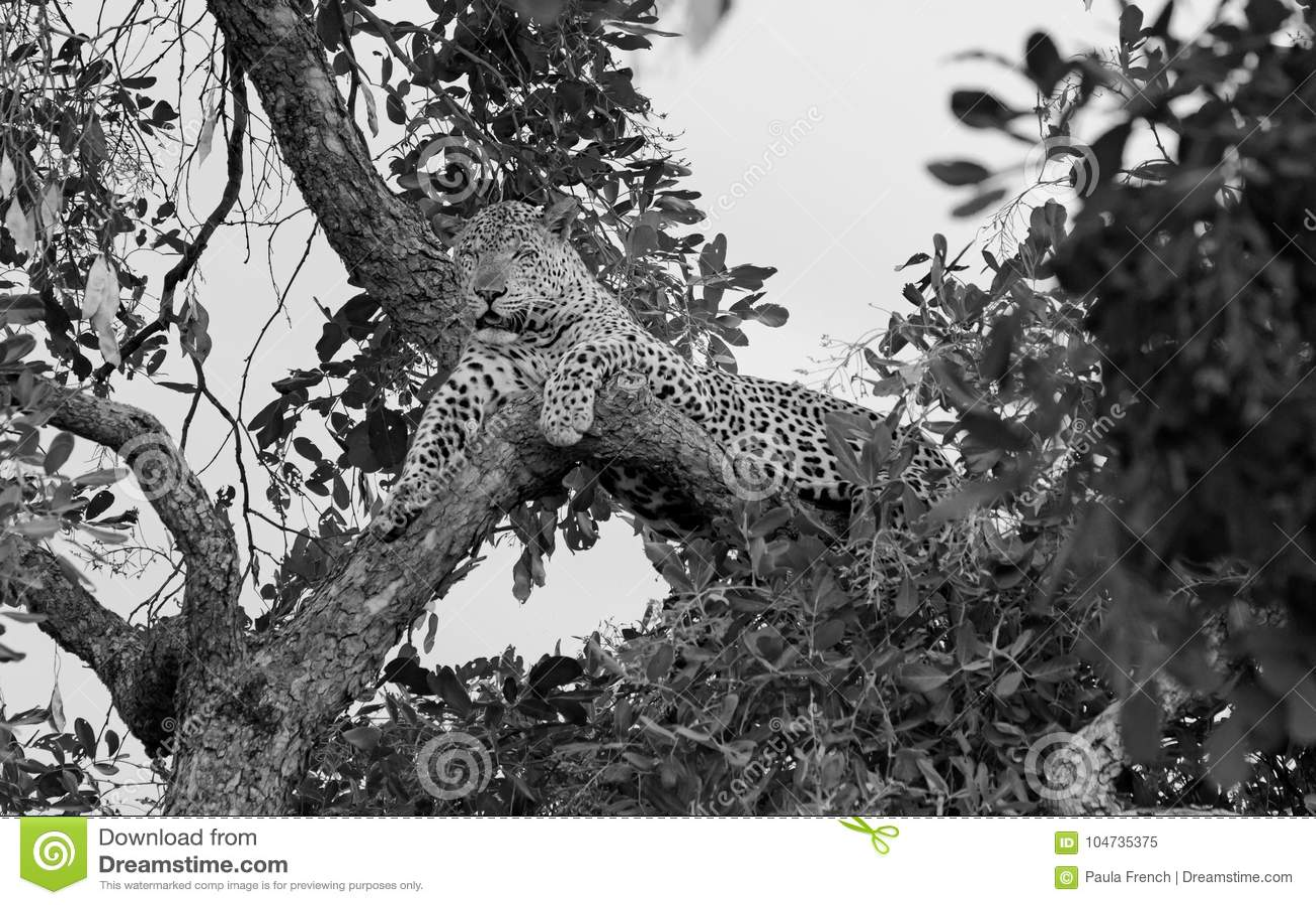 Si osserva la locanda di rilassamento del leopardo africano un albero in bianco e nero, Luangwa del sud, Zambia