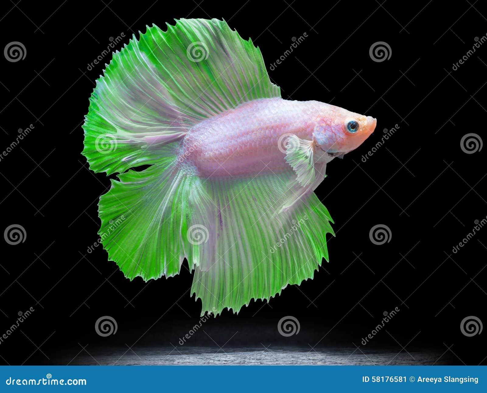Siam fighting fish on black betta fish stock image for Black betta fish
