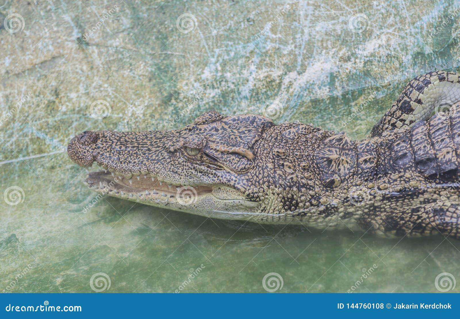 Siamensis de Crocodylus dans le zoo