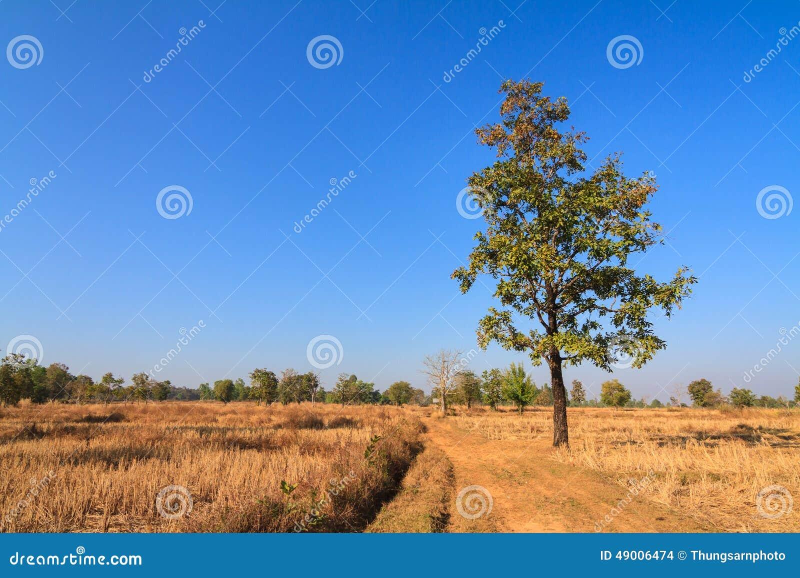 Siamensis del Shorea en campo secado del arroz