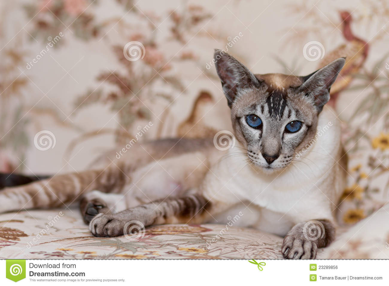 Siamese Cat Roy... Free Clipart Of Siamese Cats