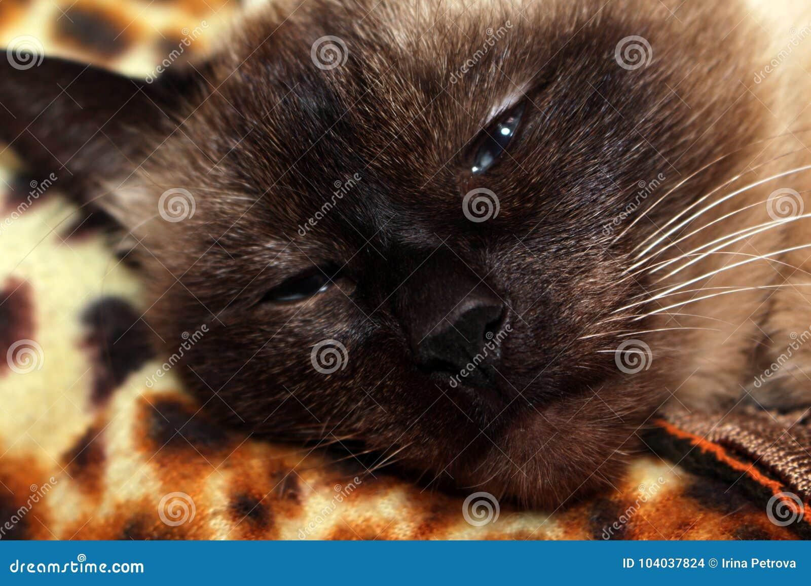 Siamese cat asleep