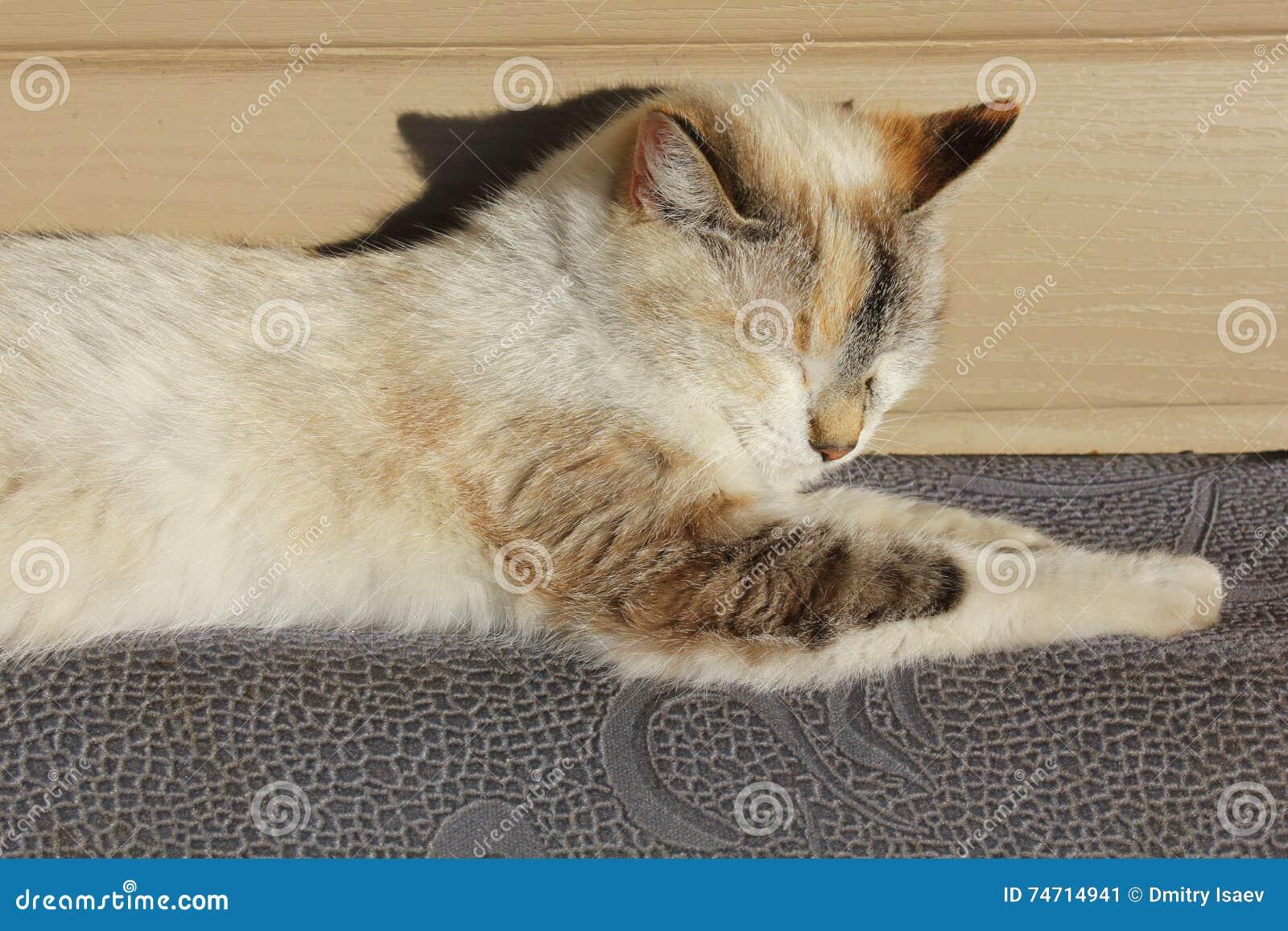 Siamese cat basking in the sun