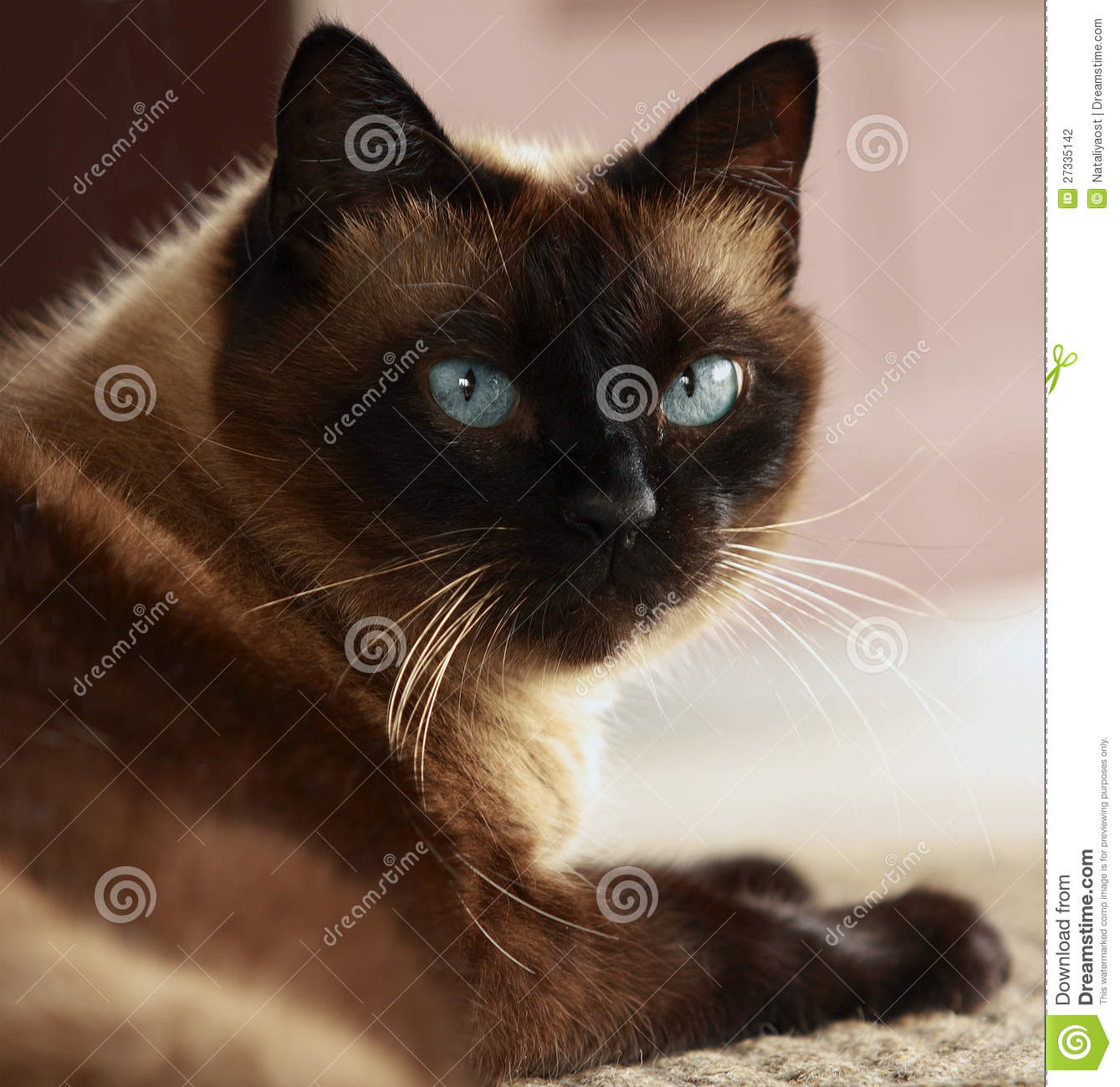 Siamese Cat With Blue Eyes Stock Photography - Image: 27335142