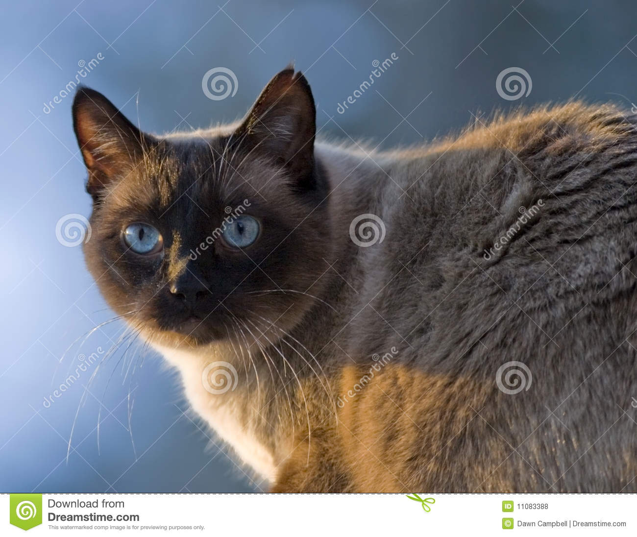 Siamese Cat, Chocolate Point Royalty Free Stock Photos - Image ...