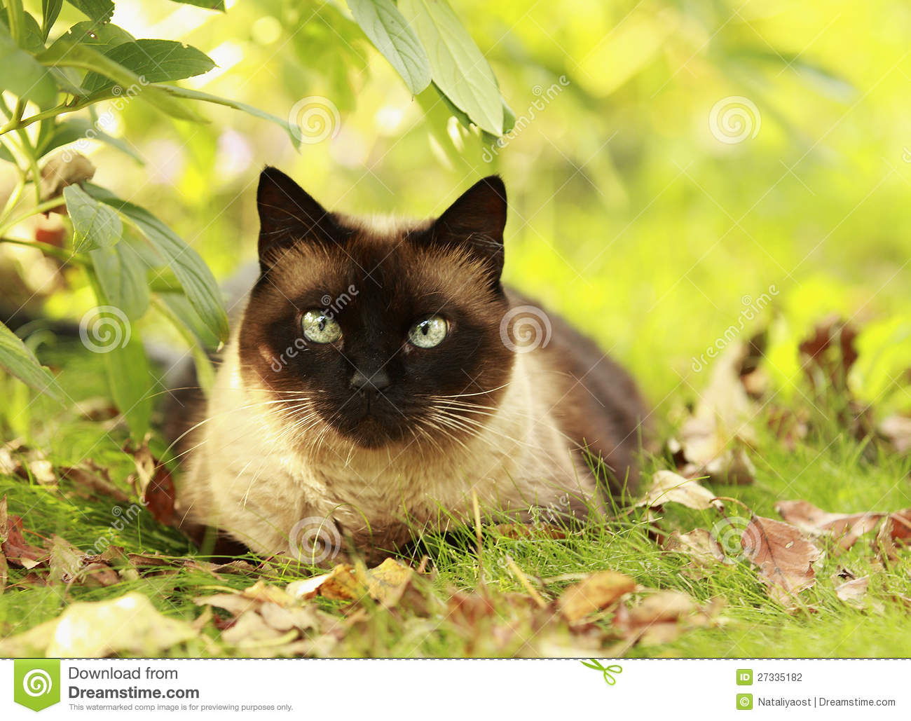 ... Siamese, with blue-green eyes lies in a green grass and yellow leaves