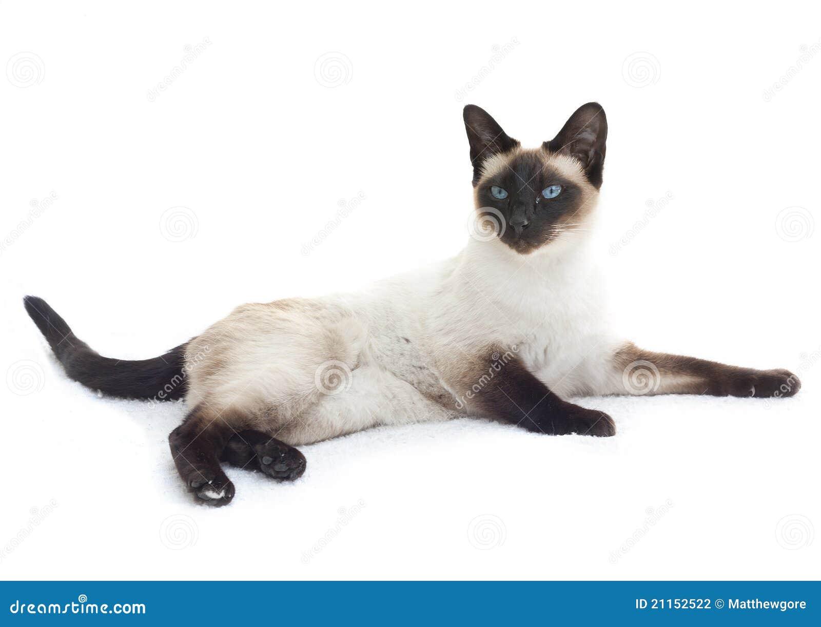 Scottish fold kitten on the prowl dating 7