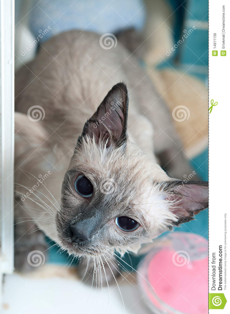 Siamese Cat Taking A Bath Royalty Free Stock Images