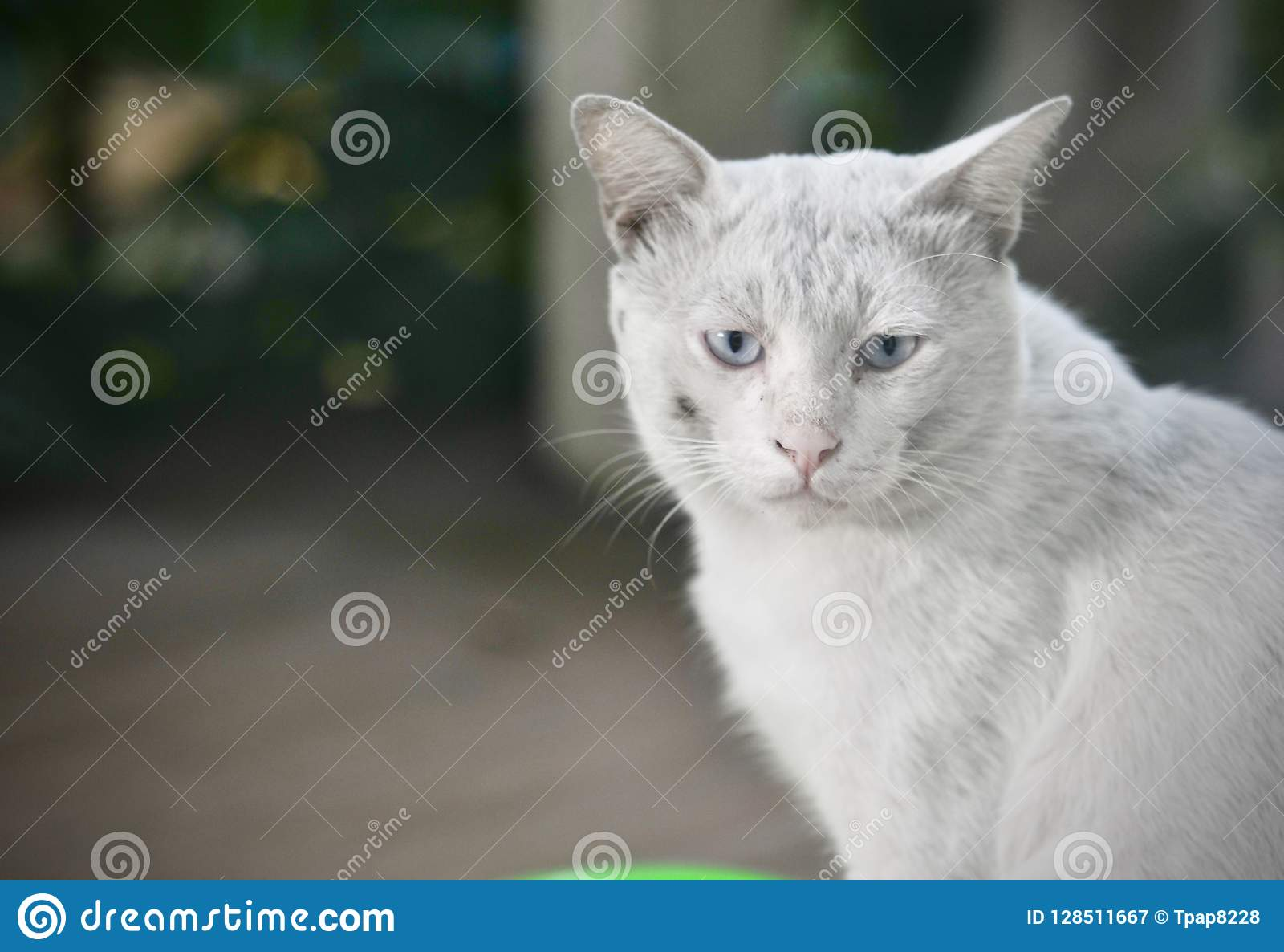 Siamese Cat Is The Thai Domestic Cat Very Cute And Smart Pet In