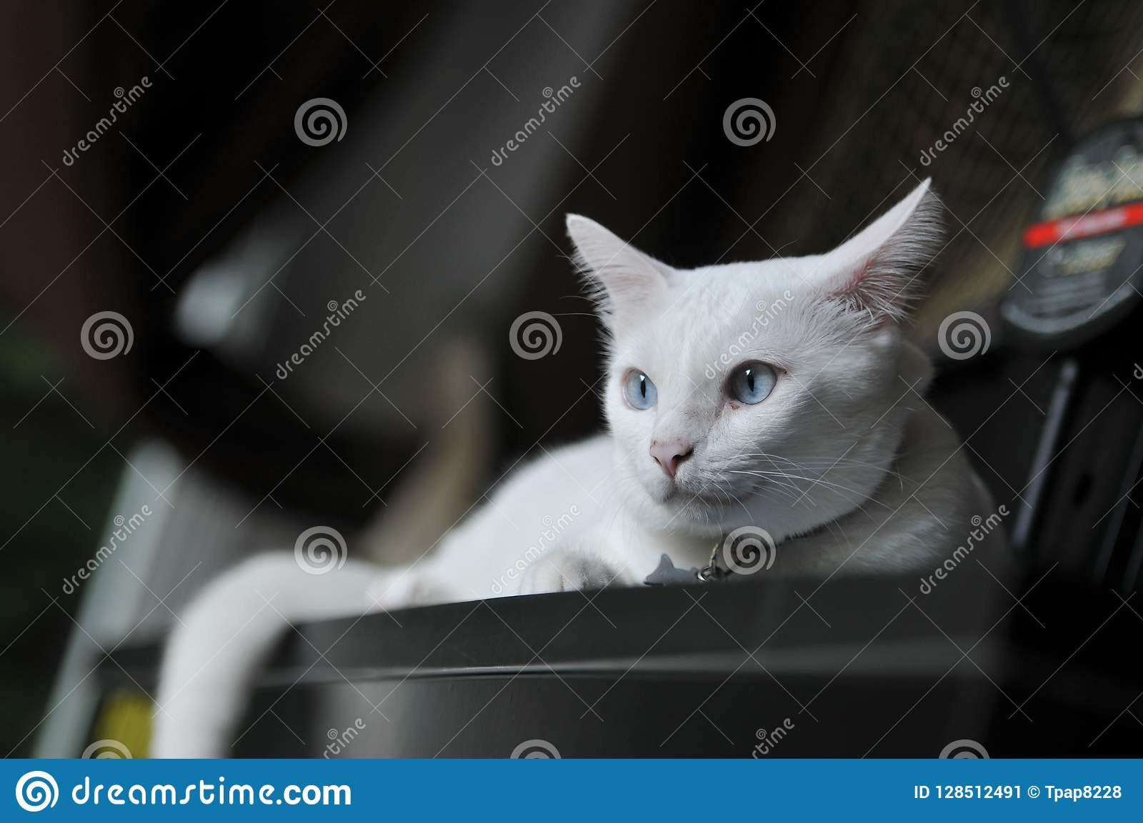 Siamese Cat Is The Thai Domestic Cat Very Cute And Lonely Pet In