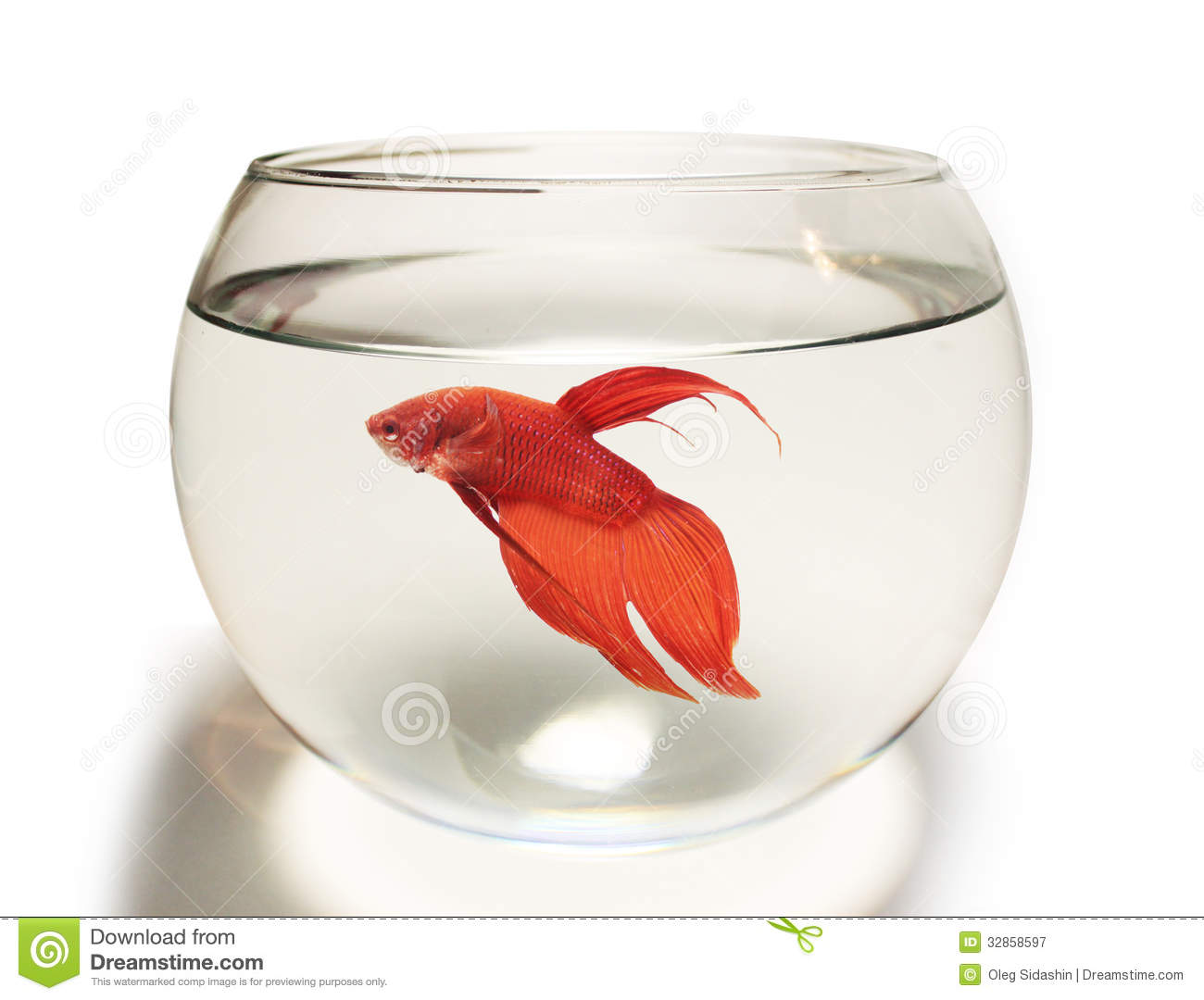 Siamese Fighting Fish Aquarium | Siamese Fighting Fish Betta Fish In Aquarium Stock Image Image