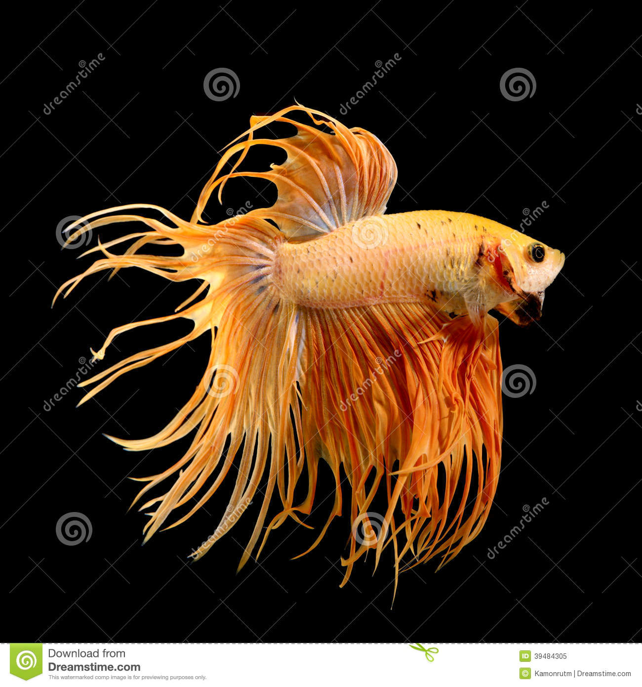 fighter fish hd images free download