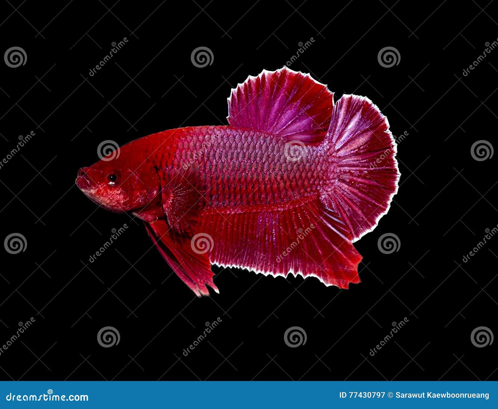 Siamese Fighting Fish, Betta Fish Isolated On Black Stock Image ...