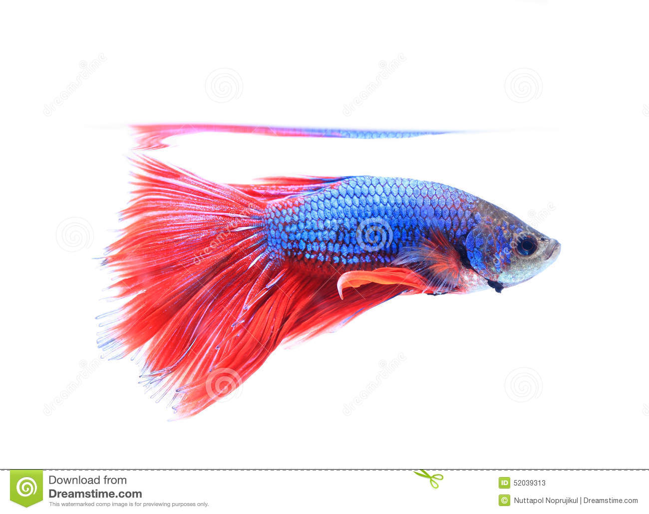 Siamese Fighting Fish , Betta Isolated On White Background. Stock ...