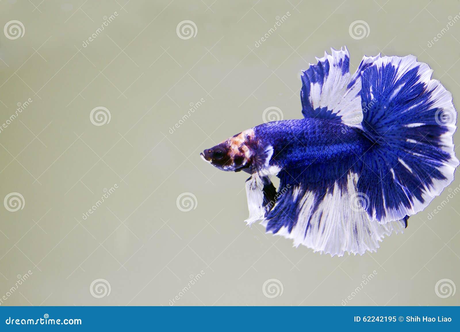 siamese fighting fish betta splendens halfmoon betta stock image