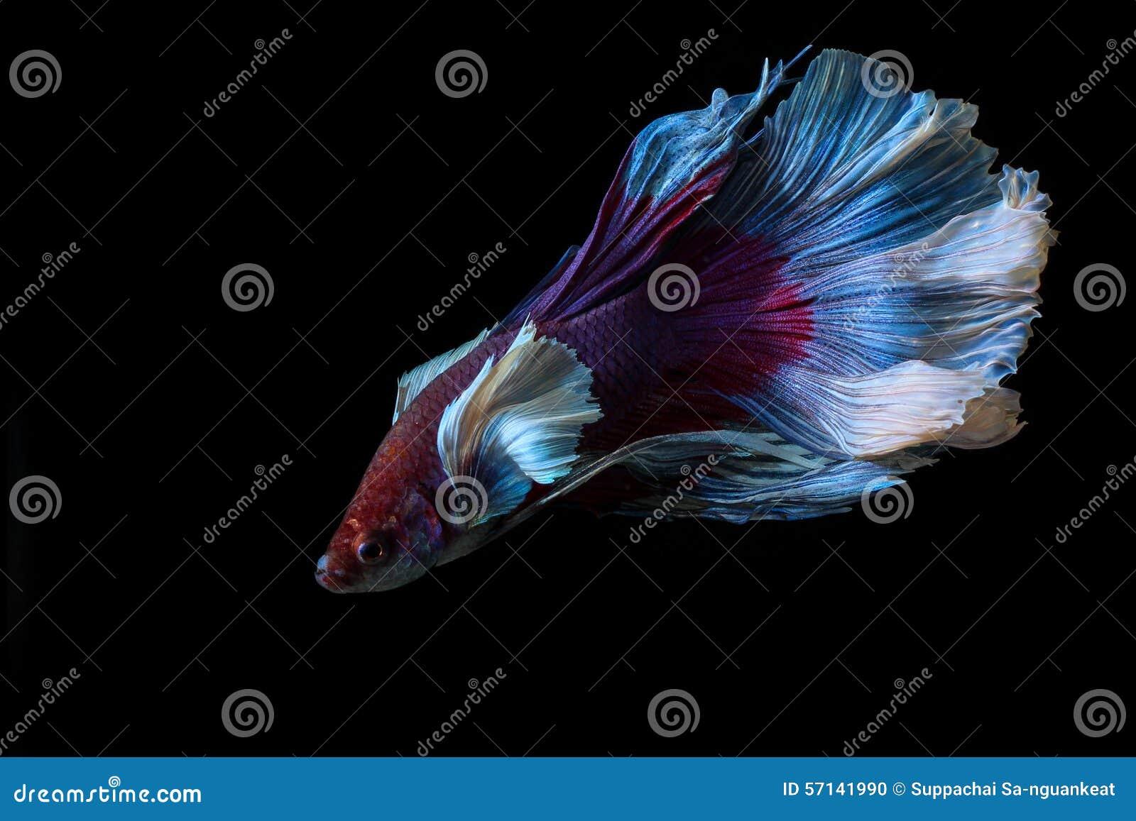 Siamese fighting fish  betta Betta Fish