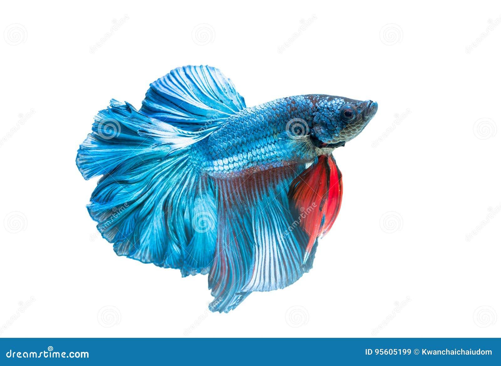 Siamese fighting fish, betta splendens isolated